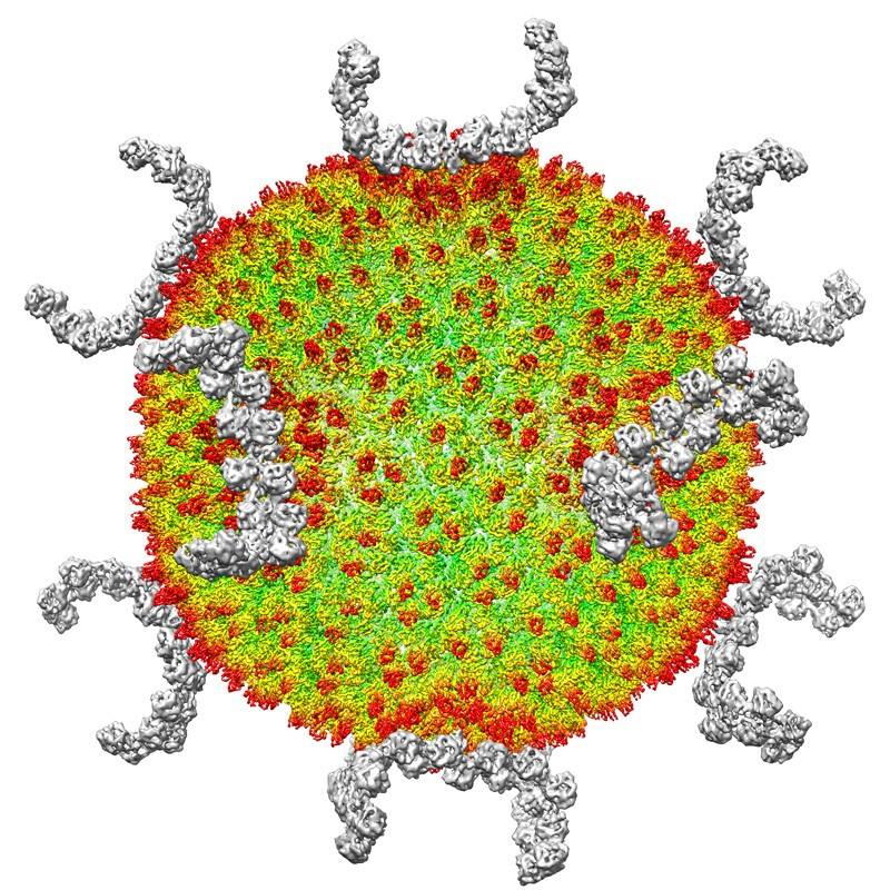 Cryo-Electron microscopy reconstruction of the archaeal virus SH1.