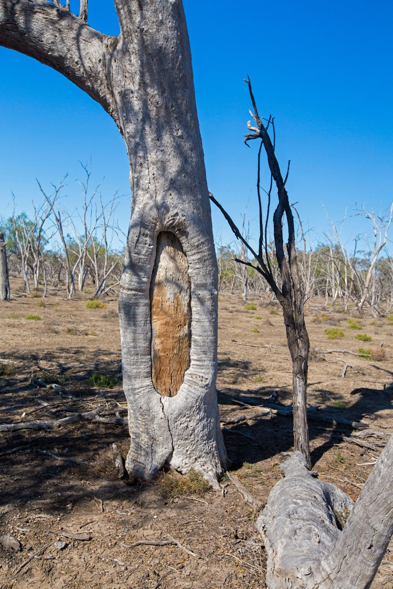 Scarred tree in Culgoa National Park, NSW, Australia