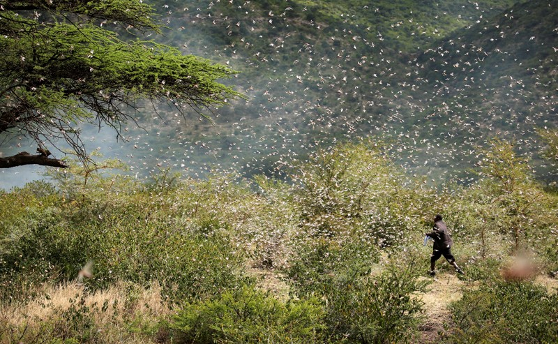 An Ethiopian farmer attempts to fend off desert locusts as they fly in his khat farm on the outskirt of Jijiga