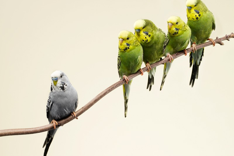 Grey budgie standing apart from green budgies in a branch.