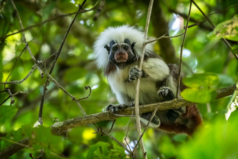 A cotton-top tamarin sits on a tree branch in Tayrona National Natural Park