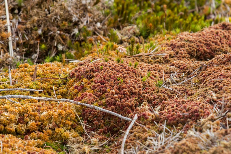 Close up of dried pine needles fallen on sphagnum moss