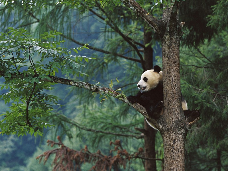 A giant panda in a tree.