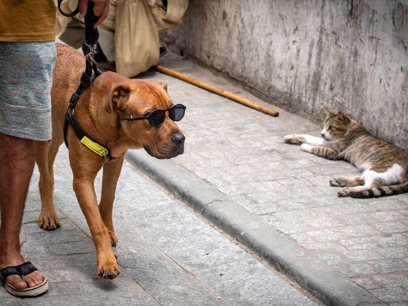 A dog held on a leash and wearing sunglasses, stares at a cat as it takes a walk along a street in the Moroccan capital Rabat.