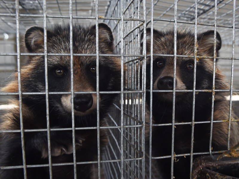 Racoon-dogs in their cages at a farm which breeds animals for fur in Zhangjiakou, in China's Hebei province.