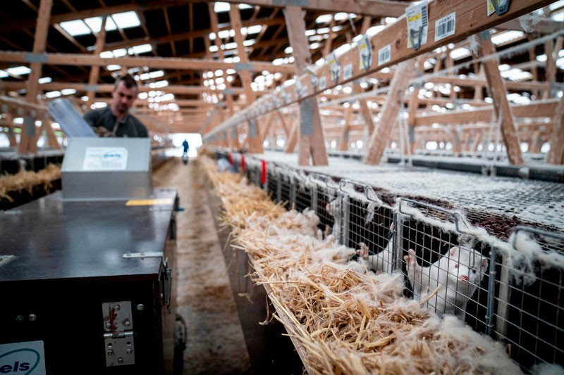 A farm worker moves along a large row of cages collecting mink to be culled