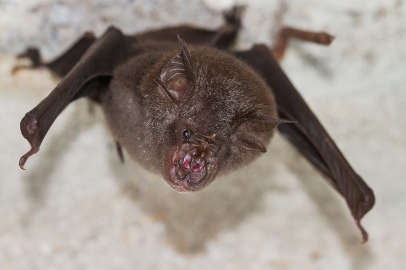 Least Horseshoe Bat