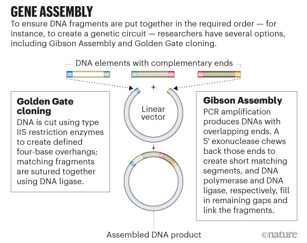 Gene Assembly. Graphic showing how the Golden Gate cloning and Gibson Assembly methods work.