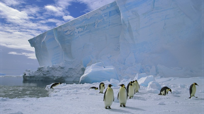 Emperor penguins in Antartica.
