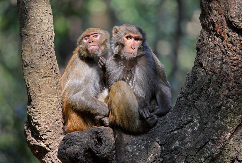 Two Rhesus Macaque (Macaca mulatta) sitting in a tree