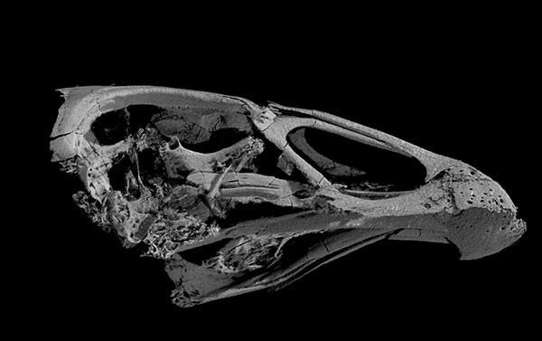 Three-dimensional image of Asteriornis maastrichtensis skull