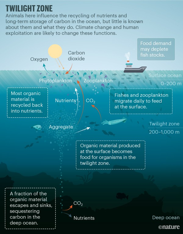 Twlight Zone. Graphic showing the cycle of nutrients and carbon storage in the ocean.
