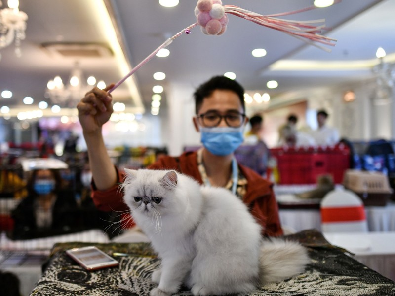 A man wearing a face mask waves a toy over a Persian cat at a cat show in Vietnam