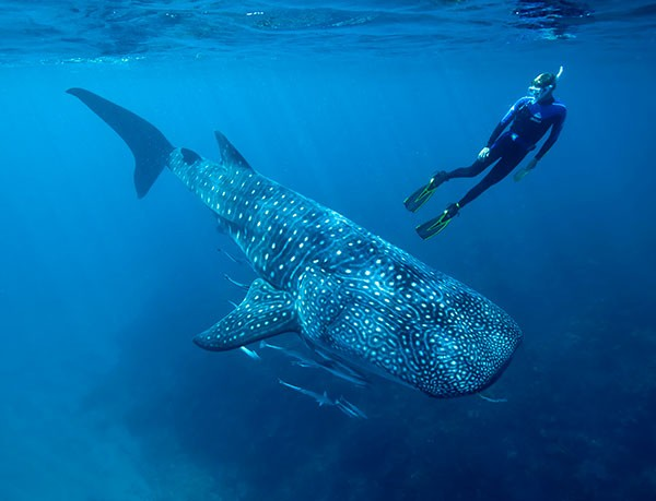 Researcher Mark Meekan swims underwater with a large whale shark