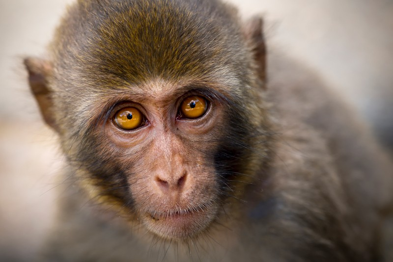 A monkey looks into the camera.
