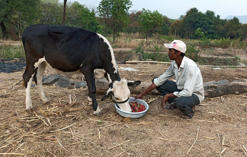 A farmer in India feeding a cow a bowl of strawberries