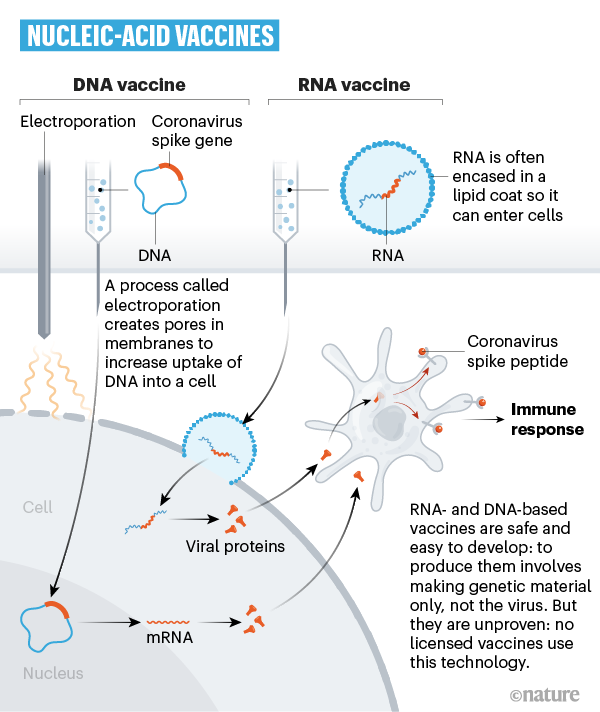 A graphic that shows how coronavirus genetic material can be used in a vaccine.