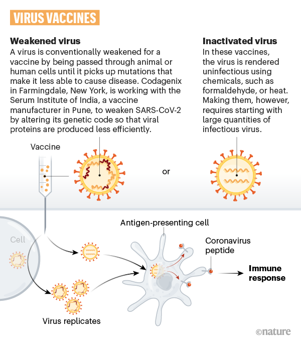 A graphic that shows how weakened or inactivated coronavirus can be used in a vaccine.