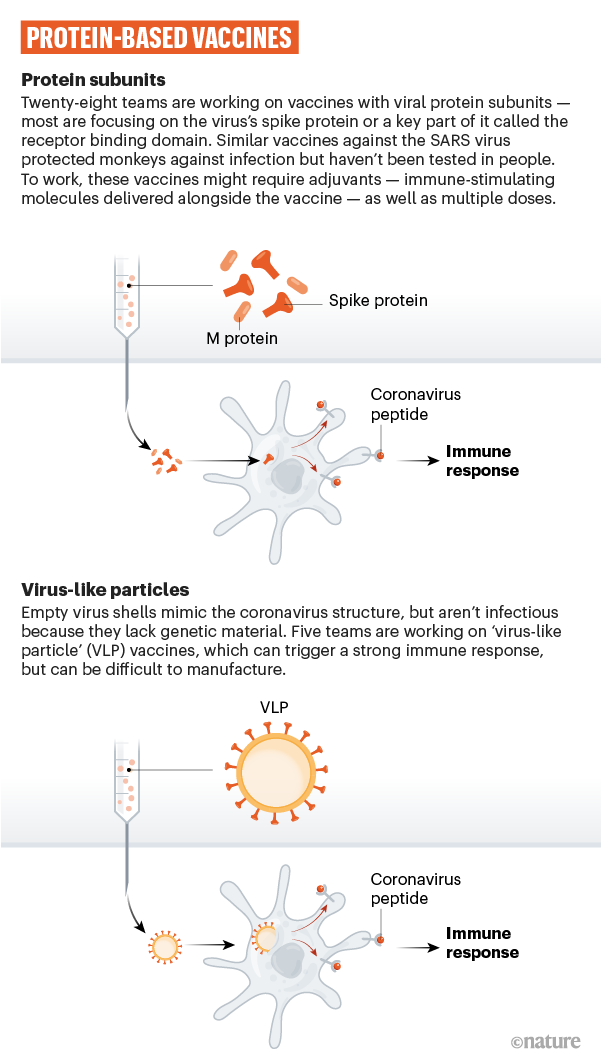 A                                    graphic that shows how coronavirus                                    proteins can be used in a vaccine.