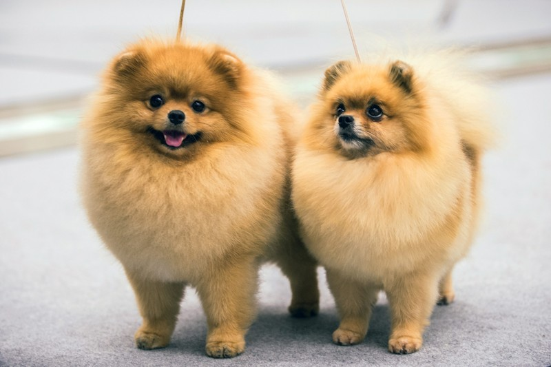 Two Pomeranian Spitzs