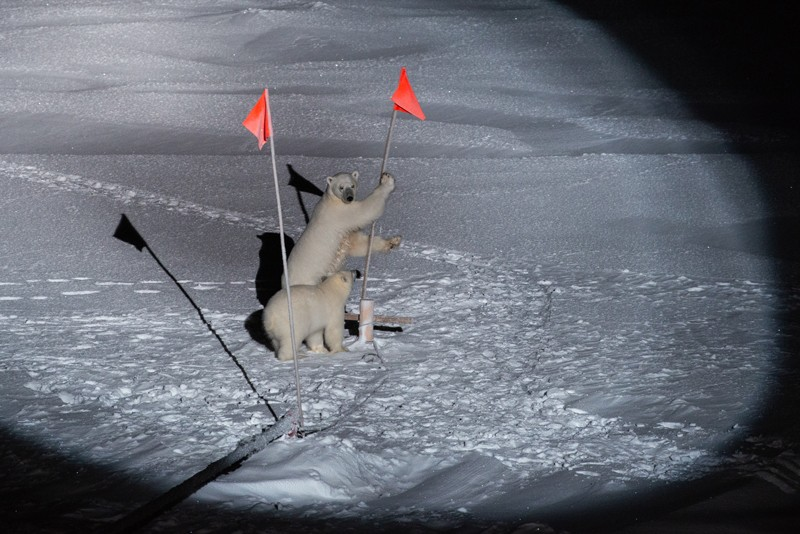 A polar bear and cub lit by a spotlight lean on research equipment on the ice around the Polarstern research vessel