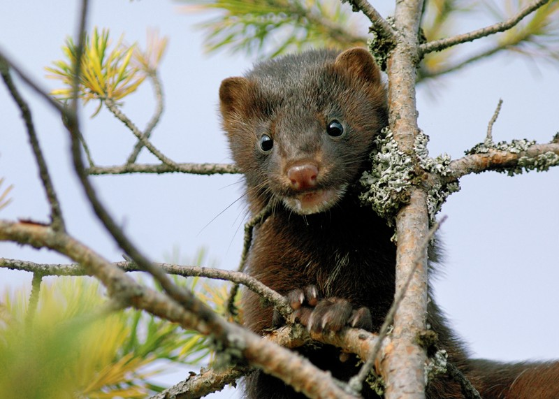 American mink in tree