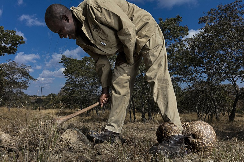 A pangolin caregiver at a farm care for rescued, illegally trafficked pangolins, helping them to find ants and termites to eat