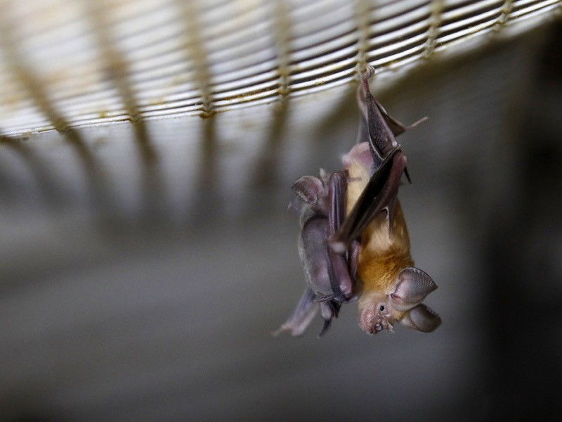 A Horseshoe bat hangs from a net inside an abandoned Israeli army outpost next to the Jordan River in the occupied West Bank.