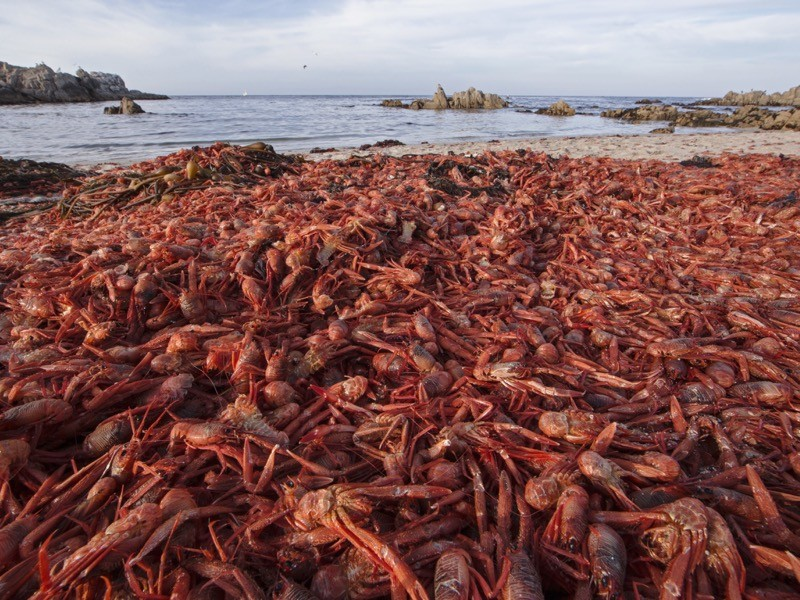 Figure 1 Dead pelagic red crabs, also known as tuna crabs, wash ashore California's coast.