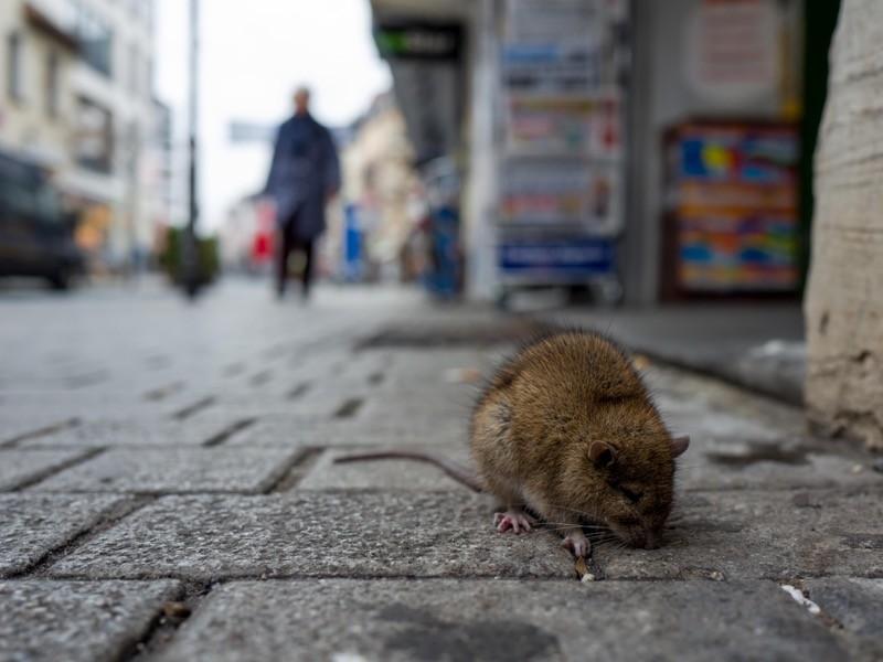 Figure 1: Rat On Cobbled Street In City.