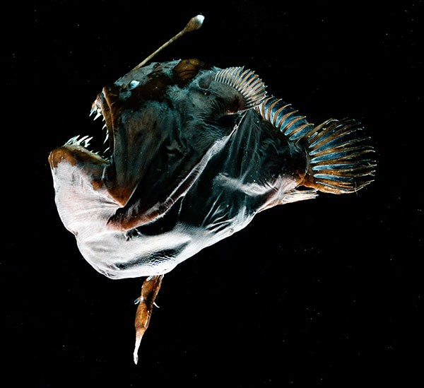 A large female deep-sea anglerfish with a small male fused to her body.