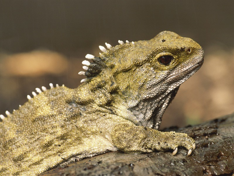 Figure 1 Tuatara, Sphenodon punctatus, New Zealand.