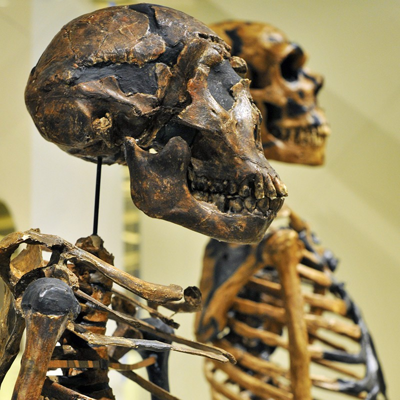 A pair of neanderthal skeletons in a museum.