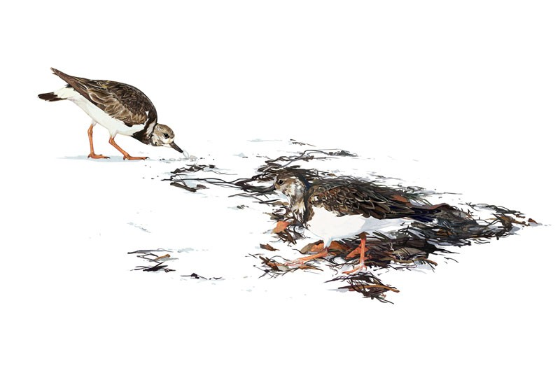 Illustration of two brown and white birds with orange legs, on a white background.