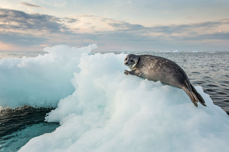 A ringed seal pup resting on a melting iceberg