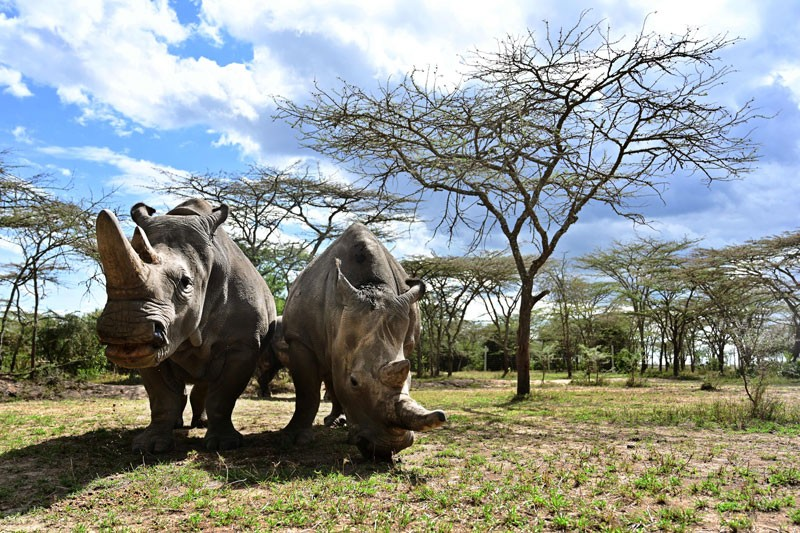 The world's last female pair of northern white Rhinoceros