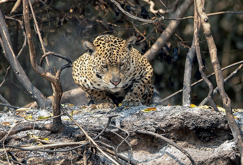 A jaguar crouches on an area recently scorched by wildfires.