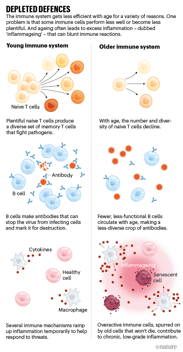 Depleted defences. Graphic showing difference between young and old immune systems.
