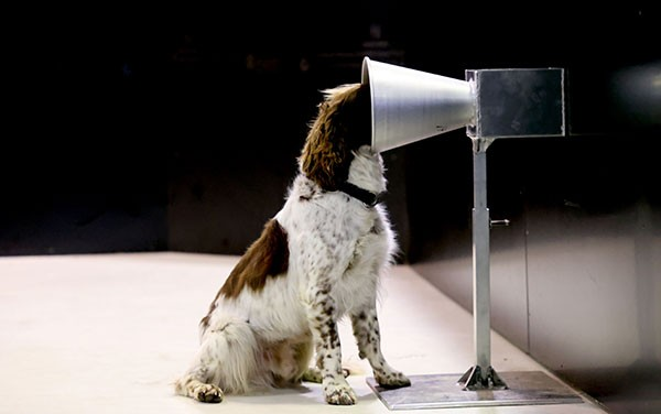 Floki the dog sticks his head into a cone in an experimental set-up to detect COVID-19.