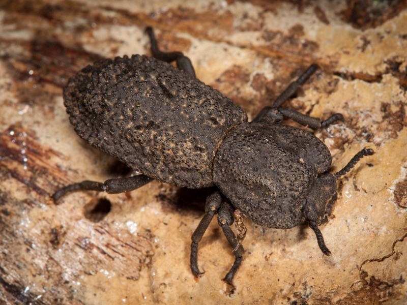 A dark-grey beetle with a rough exoskeleton on light-brown wood.