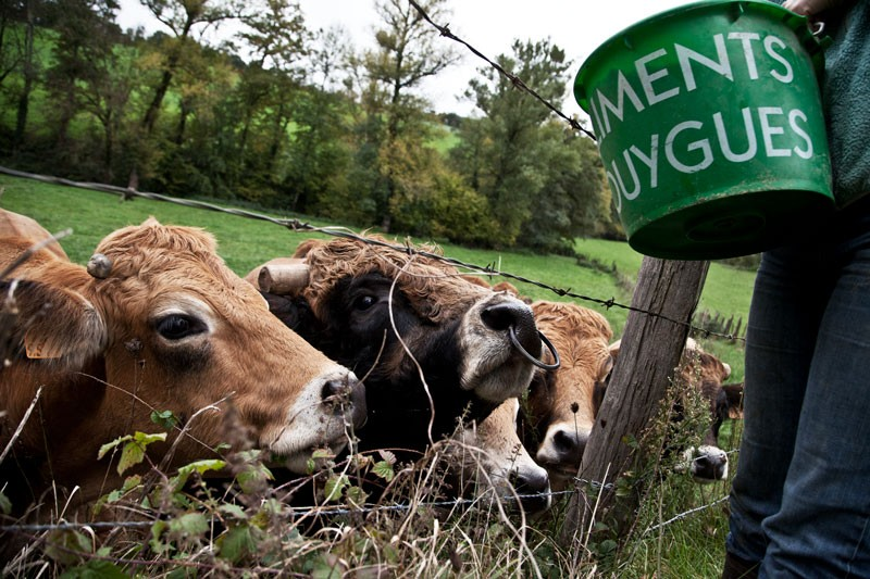 Cattle stand behind a barbed wire fence as they are fed soybean pellets from a bucket on a farm in Saint Santin, France