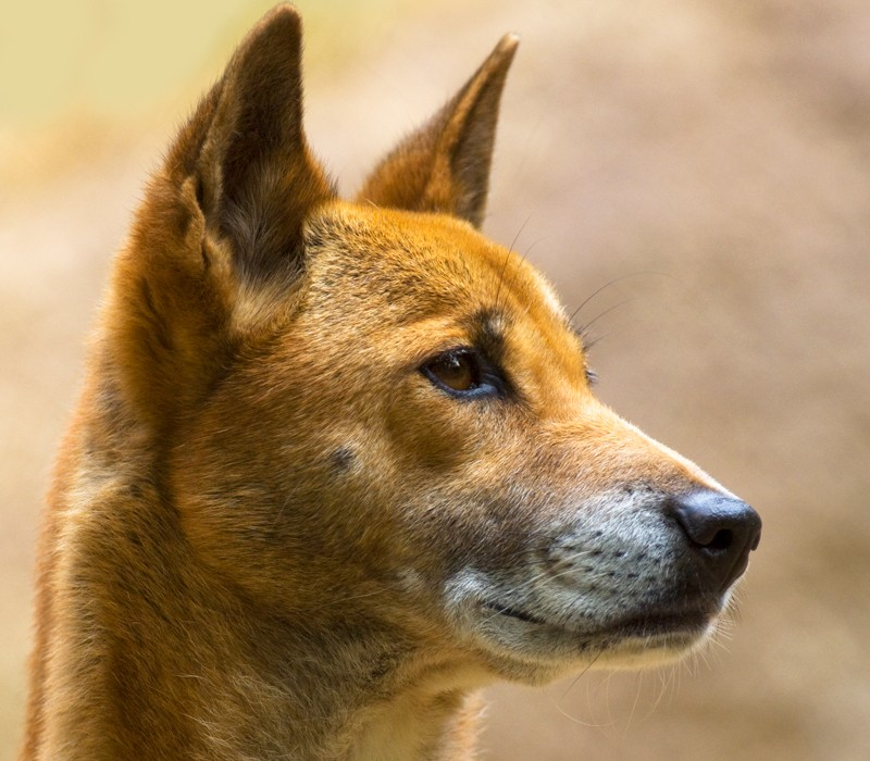 Papua-New-Guinea singing dog captive, Papua-New-Guinea.