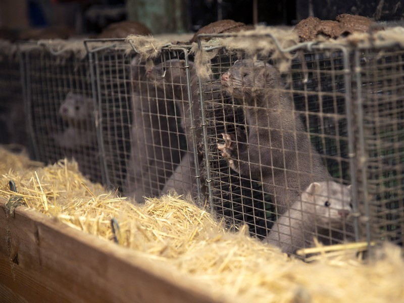 Minks on a farm owned by the family Rønnow seen on November 6, 2020 in Herning, Denmark.