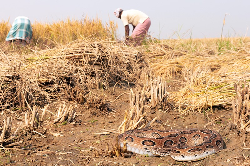 A viper near rice field workers in South India