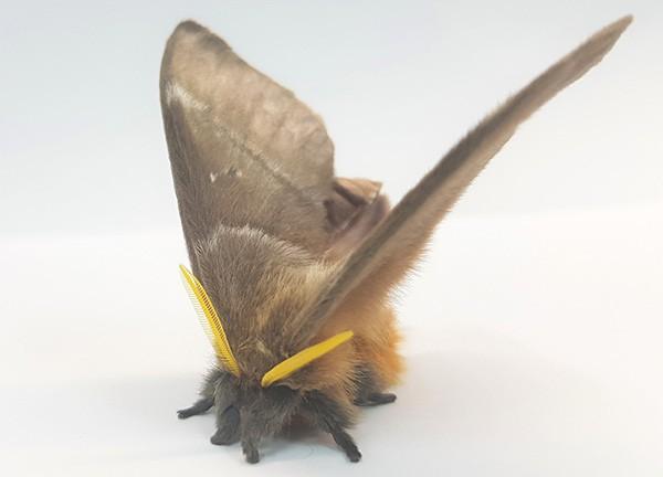 A lovely fluffy Periphoba arcaei moth