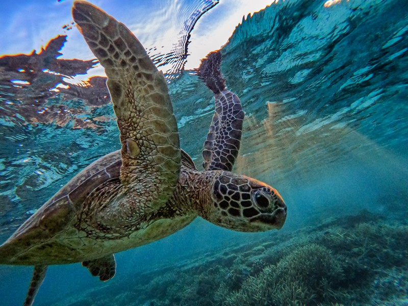 A green sea turtle among the corals at Lady Elliot Island, Australia