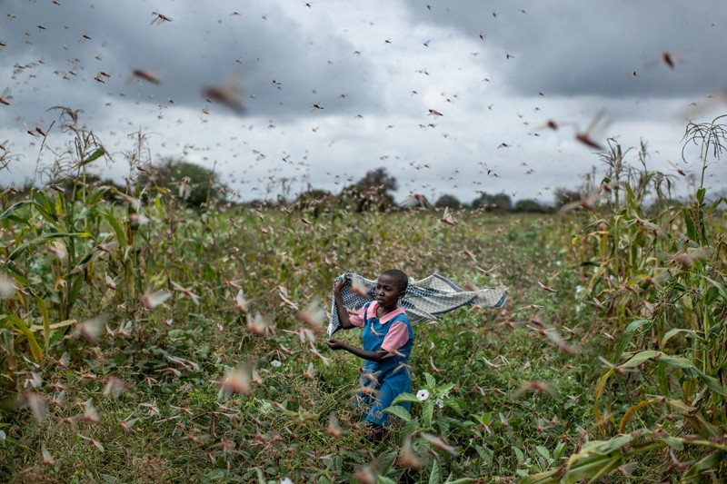 A young Kenyan girl runs through a field of crops waving shawl to try and disperse a swarm of locusts