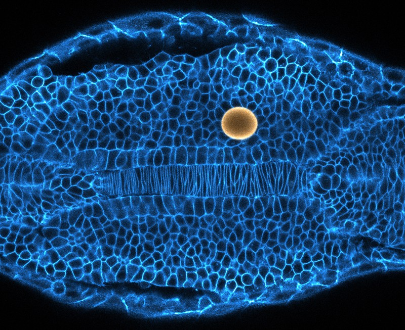Microscopic image of a magnetic droplet being used to probe tissue mechanics of a zebrafish embryo