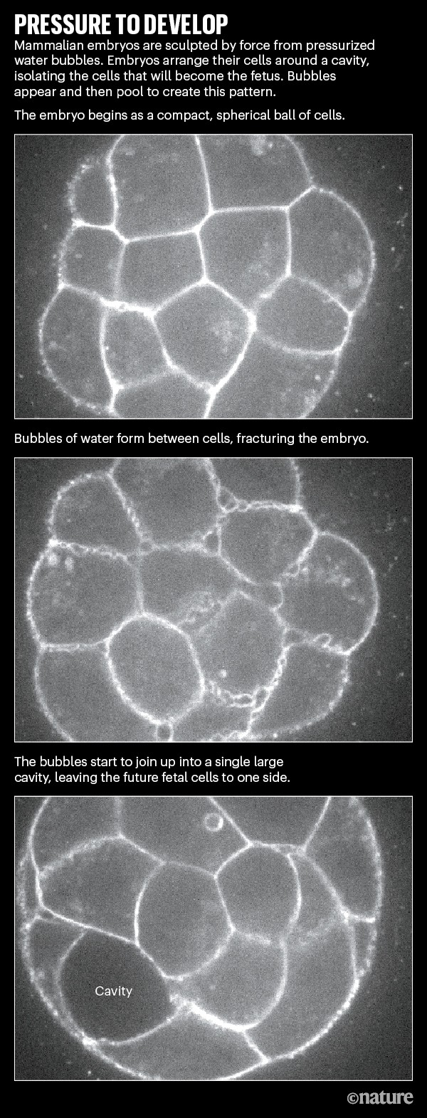 Pressure to develop. Series of images showing bubbles and then a cavity forming within a mammalian embryo.