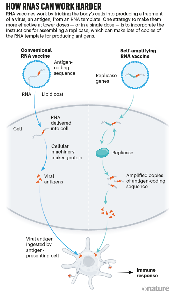 Graphic showing how conventional RNA vaccines and self-replicating RNA vaccines produce an immune response.